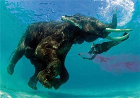 Tshirt Amazing Sumatera swimming elephants of andamans rajan the swimming elephant