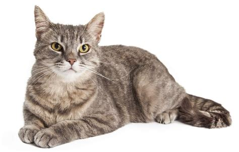 cat hair fascinating facts about domestic shorthair cats