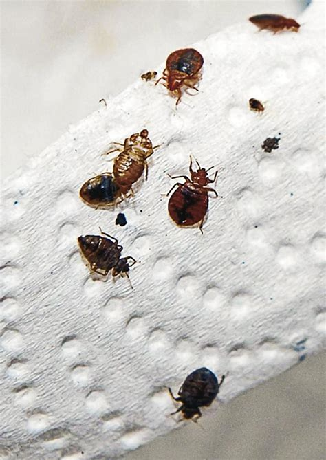 how bed bugs travel read this if you travel to new york az heat pest
