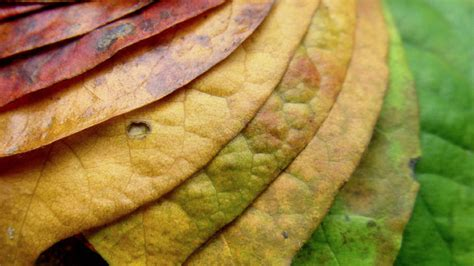 what causes the leaves to change color in the fall the chemicals that cause leaves to change color in fall
