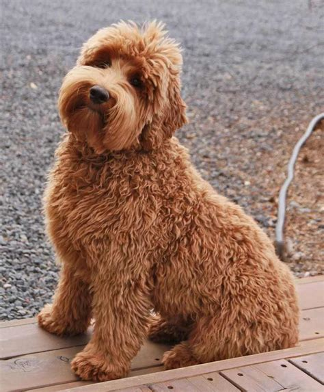 doodle doodle puppies doodle breed 187 information pictures more