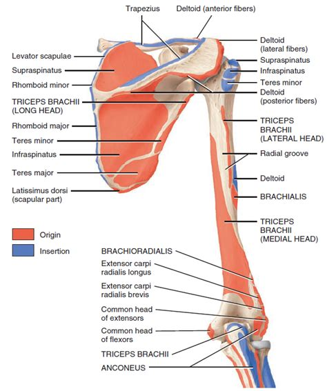 muscle origins and insertions 1572227540 four images showing origins and insertions of all muscles of the upper limb 171 judoctors