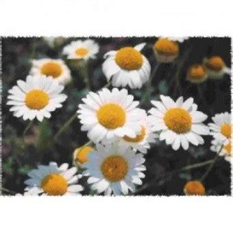Harga Bibit Bunga Chamomile bibit bunga charmomile