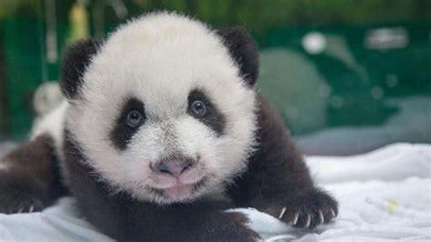 135738 Hem Panda Salur 1 china tiere pandas junge panda drillinge in chinesischem zoo wohlauf welt