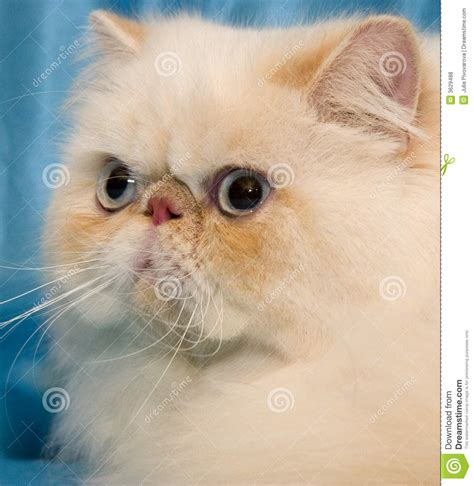 Cream Persian Cat With Big White Whiskers Stock Photo
