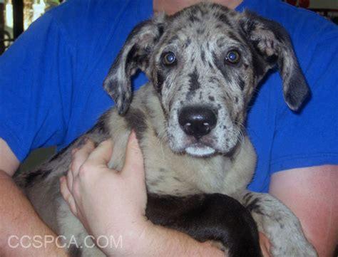 shih tzu puppies for adoption in sacramento ca queensland heeler rescue california breeds picture