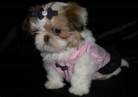 imperial shih tzu puppies for sale los angeles sumora imperial shih tzu s los angeles ca 90044