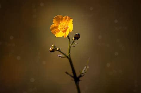 ranuncolo fiore ranuncolo coltivazione cure e consigli tuttogreen