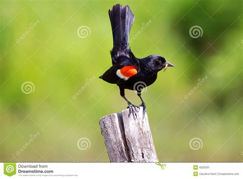 eating time for red winged blackbird 7 stock image image