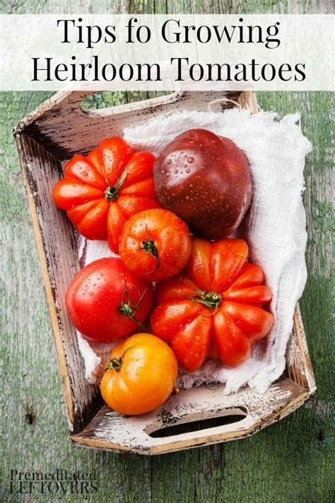 Patio Tomatoes Care by 25 Best Ideas About Tomato Plants On Tomato