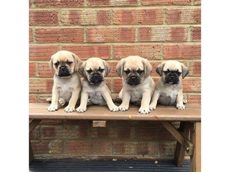 pug breeders seattle adorable pug puppies now ready for new homez cedar city news