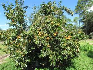 Prolific persimmon tree just fruits and exotics