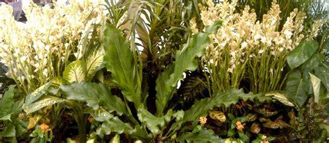 Biji Bunga Sedap Malam fleur de zuanshi wangi floral tuberose sedap malam