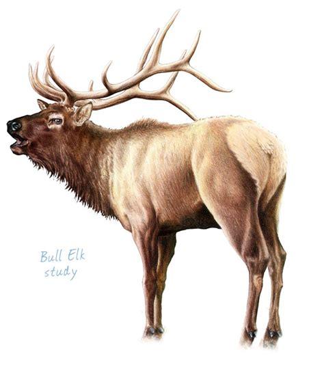 bull elk kenny oliver s