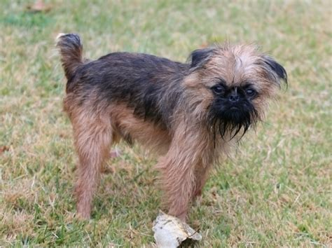 griffon breed brussels griffon images breeds picture