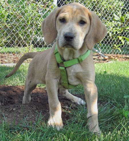 lab hound mix puppies bindi the plott hound labrador mix puppies daily puppy