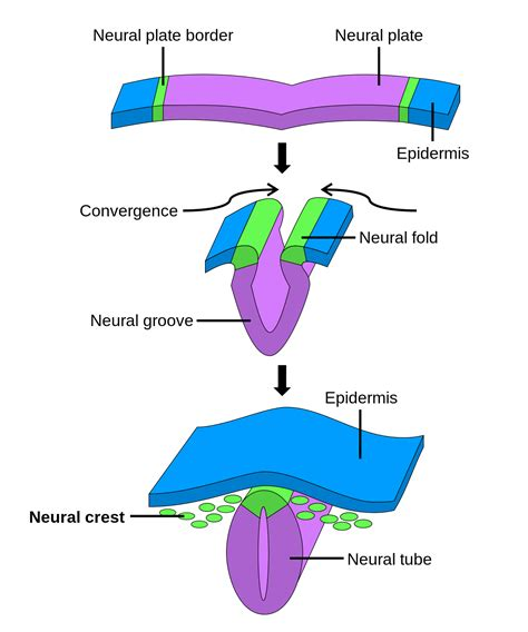 neural induction definition neural crest