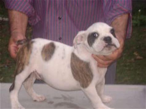 bulldog puppies raleigh nc bulldog puppies in carolina