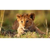 Lion Cub Photo HD Wallpaper Download Wallpapers Pictures Photos