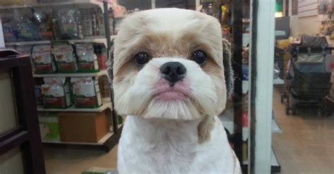 human hair dog cut pics taiwanese give dogs perfectly square or round haircuts in