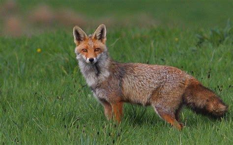 le renard dans l ile biodiversit 233 plaidoyer pour le renard le parisien