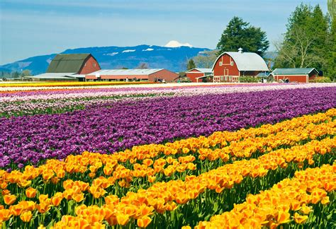 tulip fields skagit valley tulip festival washington state