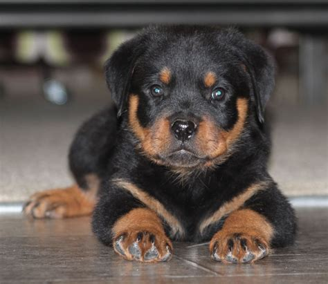 rottweiler puppies arizona rottweiler puppy if only if only