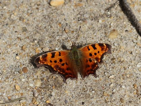 so far so good fridgie butterfly nine species in nine days an early march outburst