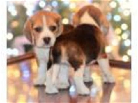 puppy finder ma view ad beagle puppy for sale massachusetts boston