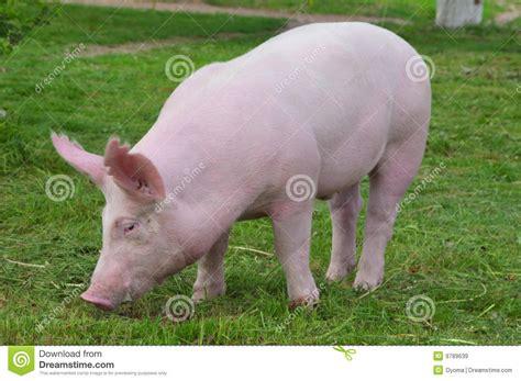 imagenes graciosas de cerdos para navidad cerdo joven im 225 genes de archivo libres de regal 237 as