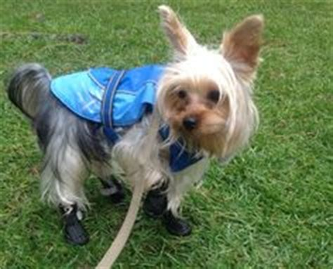 how to potty a yorkie to go outside 1000 images about dogs wearing boots shoes on booties yorkie and
