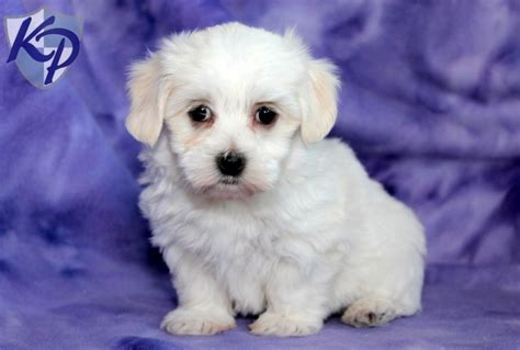 havanese puppies pennsylvania pin by keystone puppies on havanese puppies