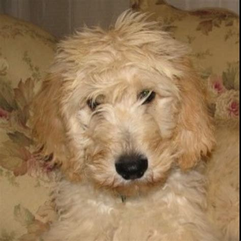 goldendoodle puppy diet 1000 images about snickerdoodles goldendoodles on