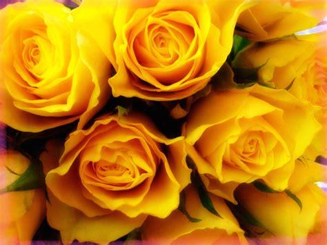 im 225 genes de flores y plantas rosas top 28 fondo pantalla ramo rosas amarillas banco de