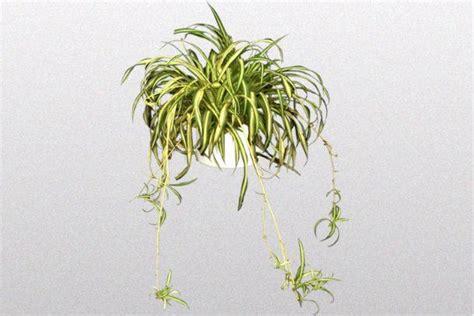 piante cascanti da interno piante cascanti interno idee per il design della casa