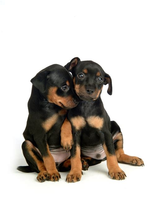 min pin puppy miniature pinscher puppies available in tucson az