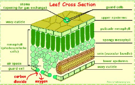 cross section of a leaf parts and functions term one week seven niffygrows