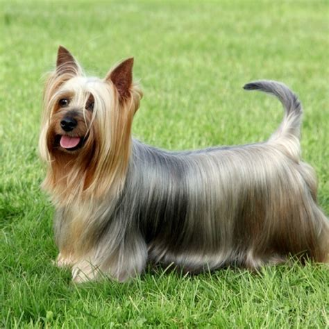 silky terrier puppies silky terrier puppy silky terrier breed information