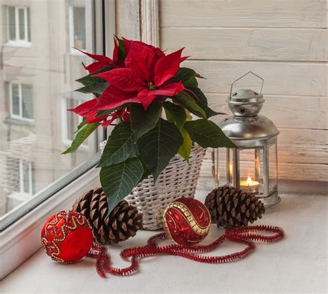 Come Curare Stella Di Natale by Come Curare La Stella Di Natale Floraqueen Italia