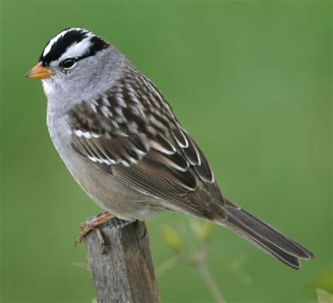 white crowned sparrow aspen song wild bird food