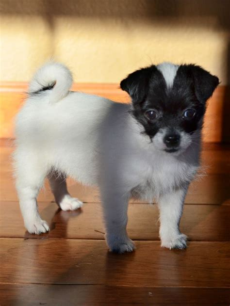 shih tzu chi mix 10 best images about shichi on chihuahuas shih tzu mix and chihuahua dogs