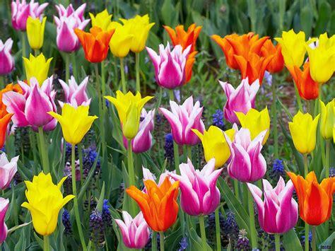 imagenes flores tulipanes fondos de tulipanes flores wallpapers fondos de