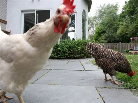 backyard chickens vancouver the backyard chicken summit