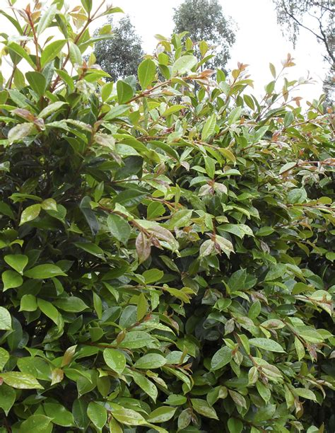 syzygium backyard bliss hedges screening plants plus cumberland forest