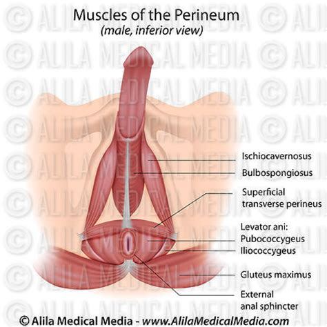 diagram of perineum alila media muscles of the perineum in