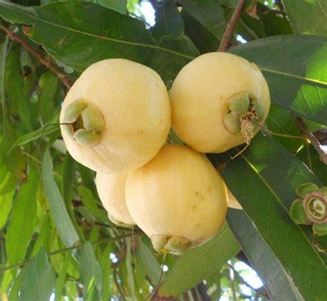 b fruit x apple syzygium jambos a apple fruit is not a