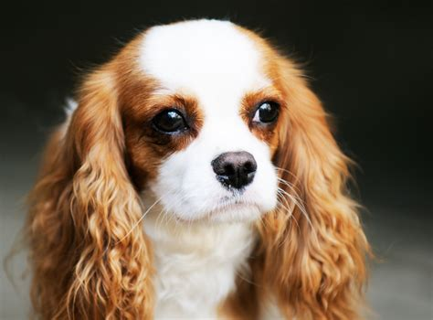 spaniel breeds pin spaniel pet listing from the express on