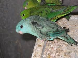 my lineolated parakeets photo gallery