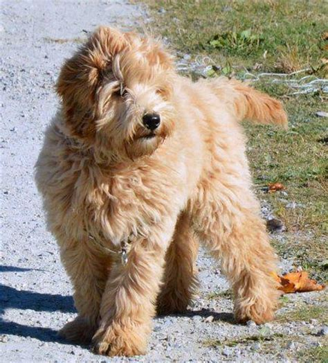 australian doodle club 1000 ideas about labradoodle puppies on