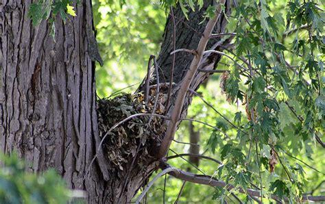 birds nest in tree nestwatch